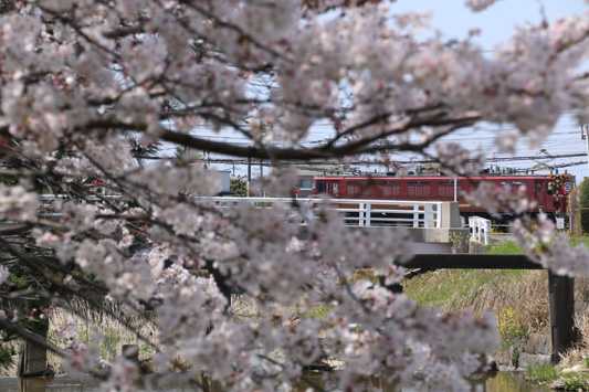 150329堂面川桜 (179)のコピー
