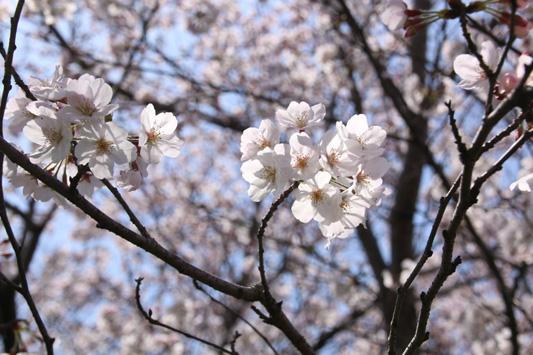 150329堂面川桜 (168)のコピー