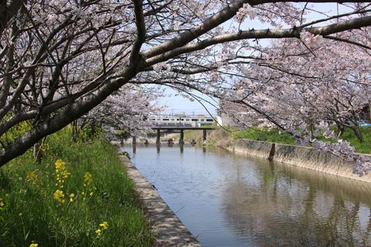 150329堂面川桜 (167)のコピー