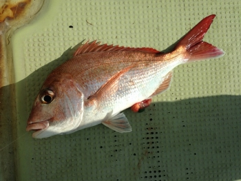 47cm真鯛