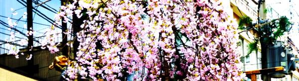 祇園祭の「サクラ」