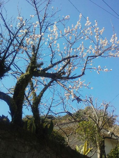鼓川町の桜