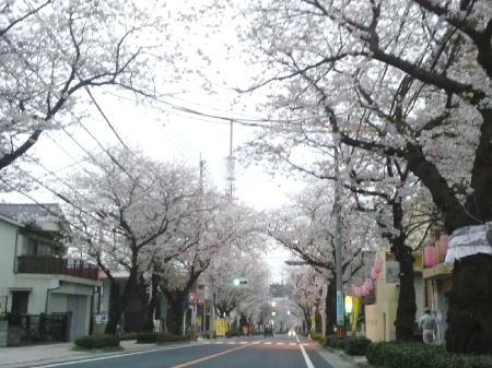 紫原の桜1