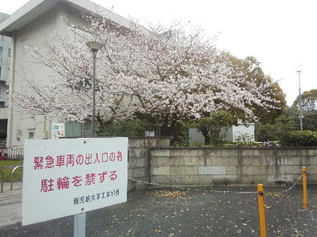 鹿児島大学工学部の桜