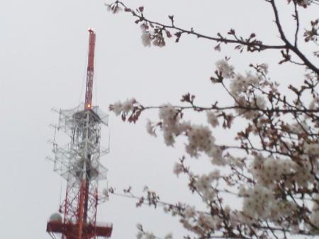 紫原の桜2