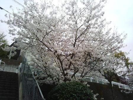 立山公園の桜1
