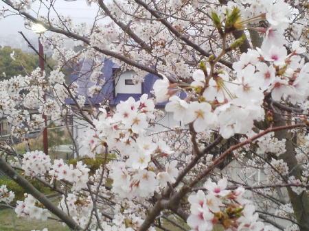 立山公園の桜2