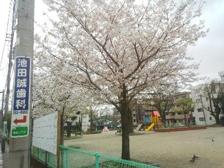 騎射場公園の桜