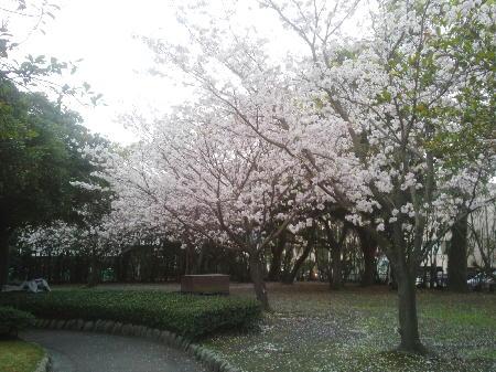 鴨池運動公園の桜