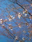 2015,3,27の桜