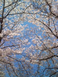 堤防の桜2015その1
