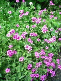 ピンクの花いっぱい