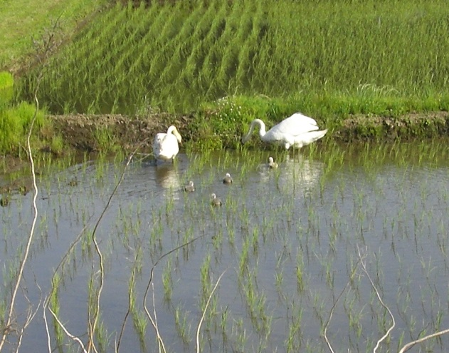 20150523屏風ヶ浦 白鳥