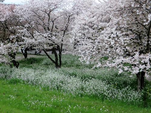 大分川河口の桜A