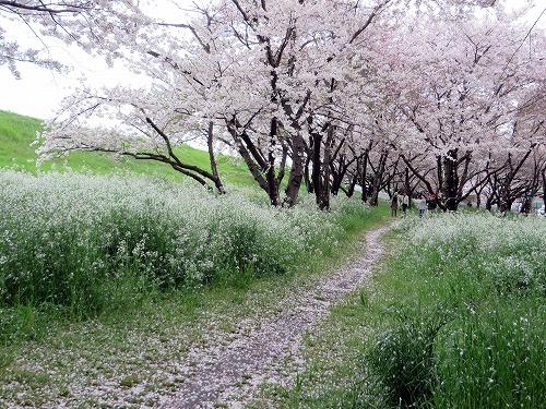 大分川河口の桜B