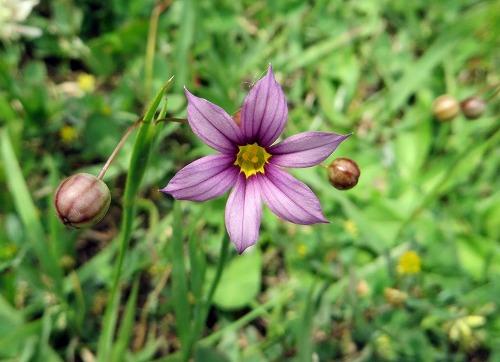 ニワゼキショウ・赤紫