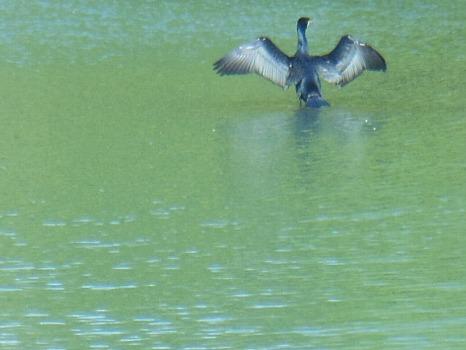 水鳥 鵜か