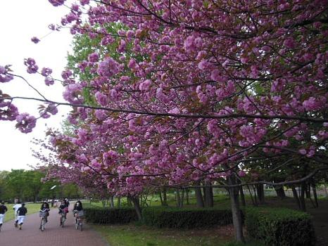 4月21日の八重桜