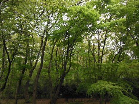 中央公園の緑1