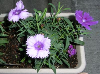 150113-我が家の花①-4