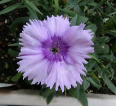 150113-我が家の花①-6