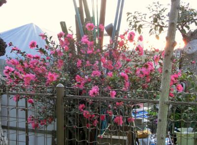 150123-散歩道の花①-1