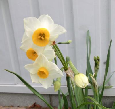 150129-我が家の花-3