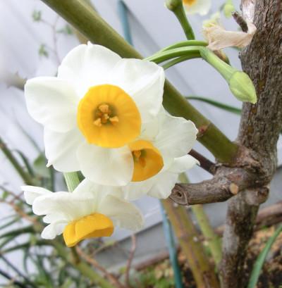 150129-我が家の花-4