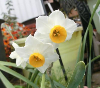 150129-我が家の花-1
