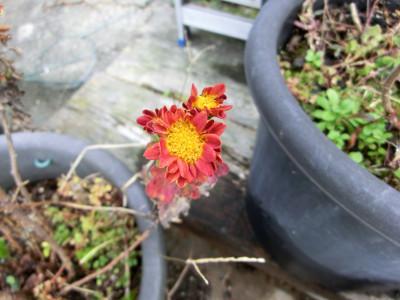 150129-我が家の花②-1