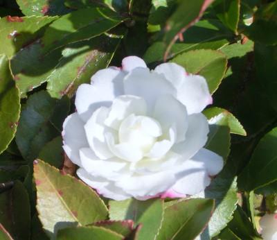 150211-ご近所の花-3