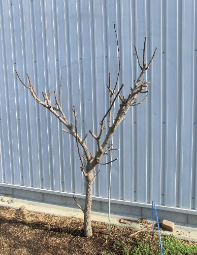 150211-山椒の木-1