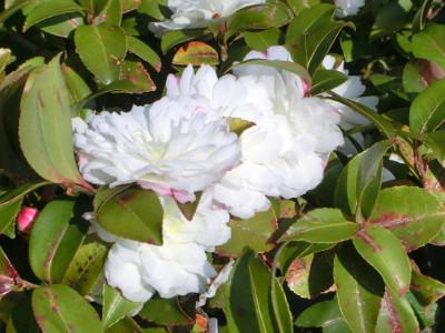 150211-ご近所の花-1