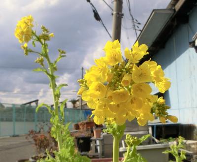 150217-我家の花-2