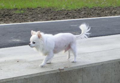 150507銀ちゃんお散歩-3
