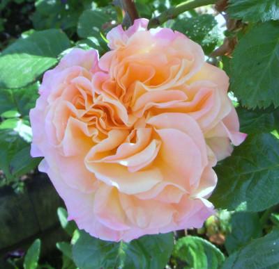 150515-バラ・オレンジ-1