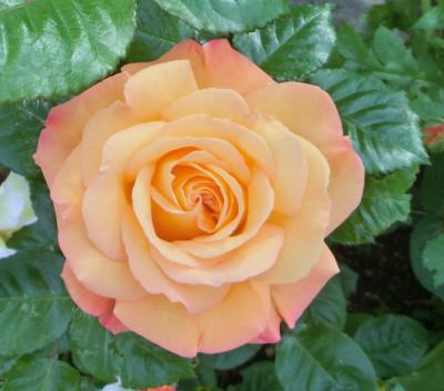 150515-バラ・オレンジ-2