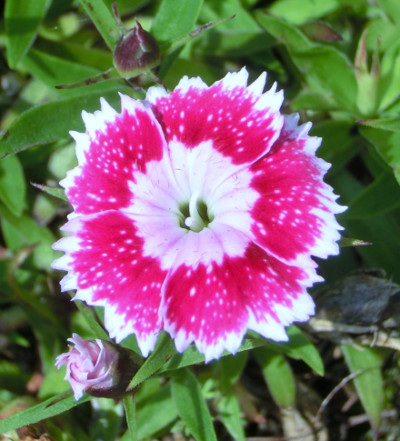 150517-我が家の花-1