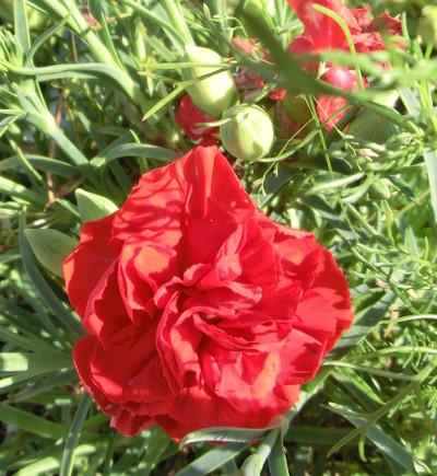 150517--我が家の花-2