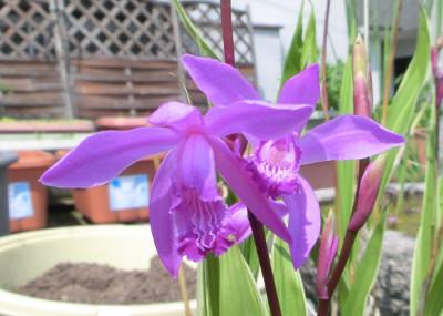 150525-紫蘭-3