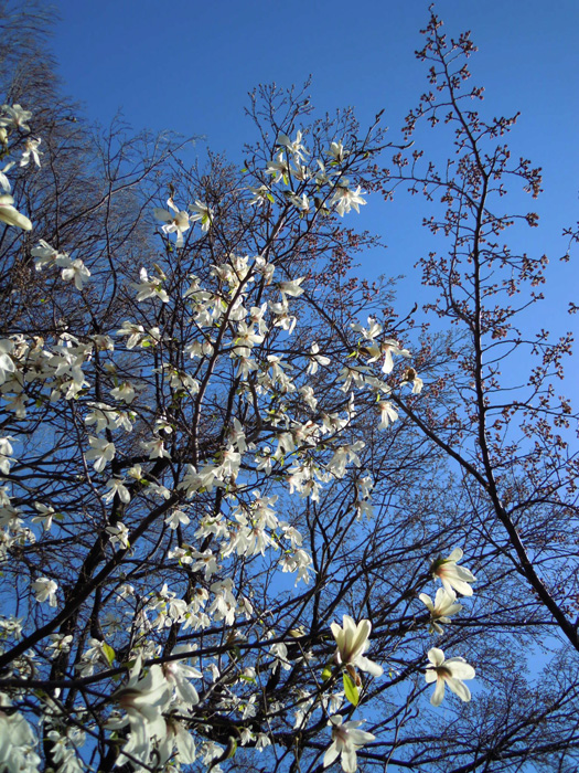 コブシと桜。