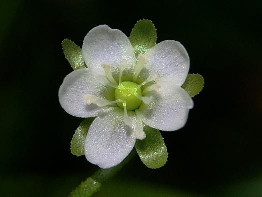 モウセンゴケの花5。