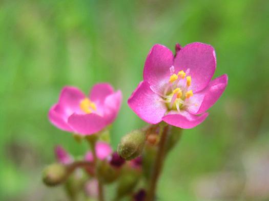 トウカイコモウセンゴケの花2。