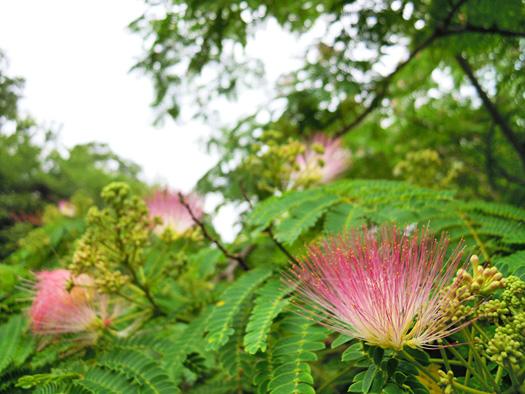 ネムノキの花。
