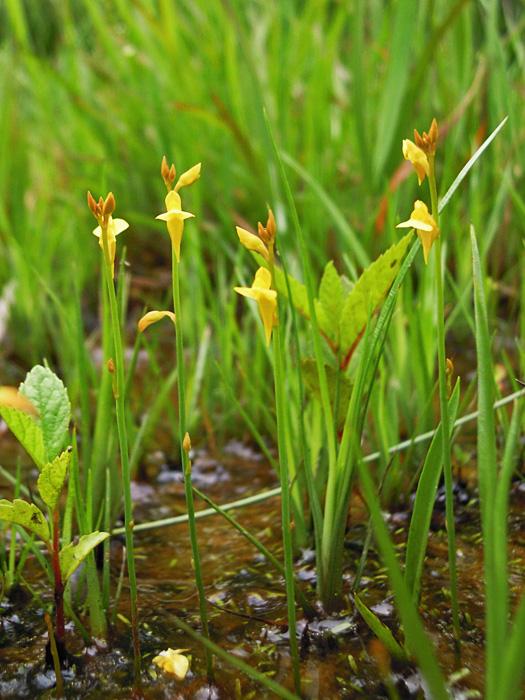 ミミカクグサの花の写真。