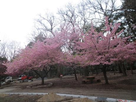 桜早咲きC150322