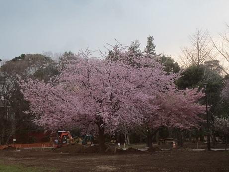 桜早咲き150322