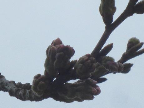 桜150322
