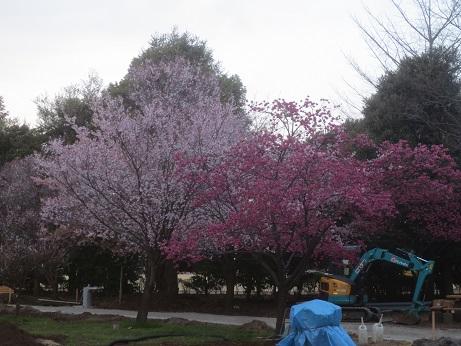 桜早咲きB150322