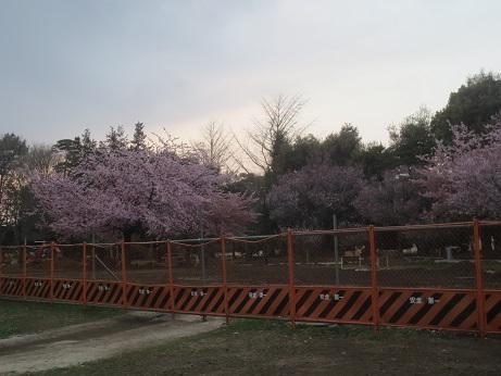 桜早咲き柵150322